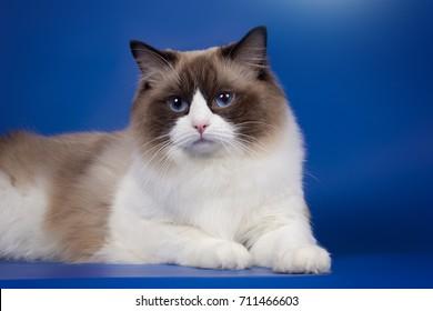 Portrait of a fluffy cat ragdol with blue eyes.