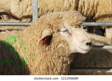 portrait of fluffy romney sheep at the exhibition of farm animals in Vendryne, Czech Republic, October 13, 2018