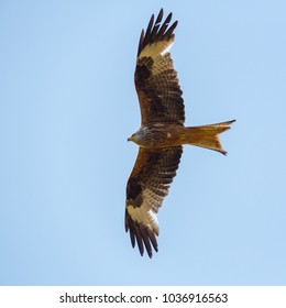 portrait flying natural red kite bird (milvus milvus), blue sky, spread wings