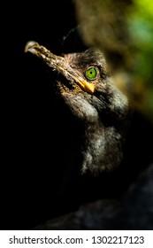 Portrait fo European Shag (Phalacrocorax aristotelis aristotelis). Wildlife scene from the island Vardo, Norway.