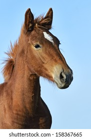 Portrait of a foal on a blue background