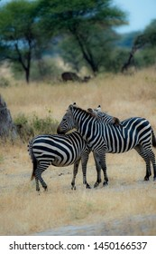 Portrait format of two zebra. One zebra has head resting on the back of the other zebra and one has back leg raised. Both standing against blurred dry grass background