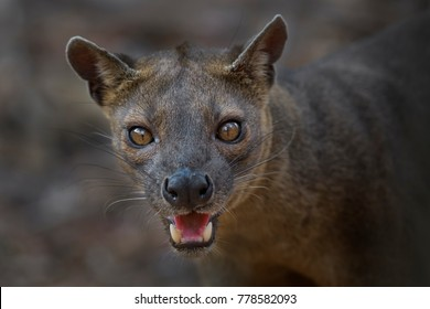portrait of Fossa - Cryptoprocta ferox, Kirindi forest, Madagascar, picture made in the evening light, direct eyes contact