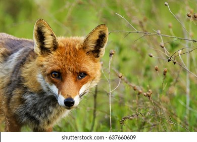 Portrait of a fox with a broken eye