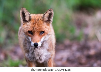 Portrait of a fox with a damaged eye