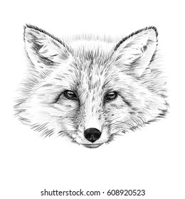 Portrait of fox drawn by hand in pencil. Originals, no tracing