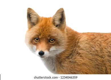 portrait of fox isolated on a white background