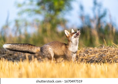 Portrait of a fox looking up into the sky. Sunny autumn day on the field.