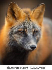 Portrait of a fox (Sivodushka - a cross between red fox and silver fox). Fox face (muzzle) close-up. Magadan region, Russia.