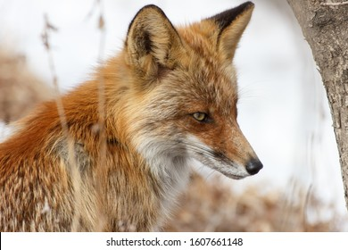Portrait of a fox in a winter forest close-up in profile.