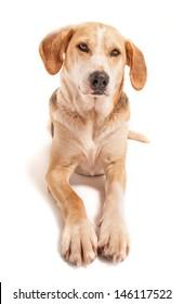 Portrait of a foxhound beagle cross.