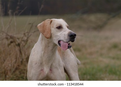 Portrait of a foxhound on the field