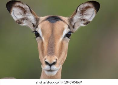 Portrait of free roaming female impala antelope