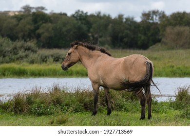 Portrait of a free-roaming konik horse that is standing at a small pond. In the background there is some grass and bushes.