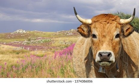 Portrait of french Aubrac cow with bell. Auvergne, France