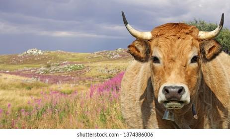 portrait-french-aubrac-cow-bell-260nw-1374386006.jpg