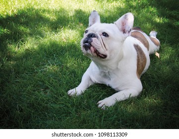 Portrait of a French Bulldog