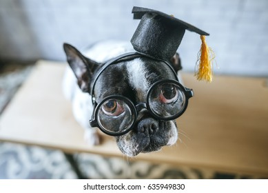 Portrait of French bulldog dog breed with student hat and glasses.