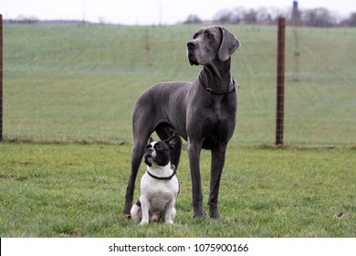portrait from a french bulldog and a great dane in the garden