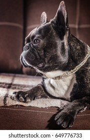 Portrait of a French bulldog lying on the couch