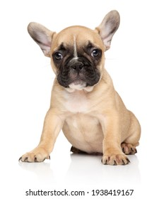 Portrait of a French bulldog puppy on a white background