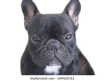 Portrait of French bulldog puppy stay still and calm on over white background, cute dog.