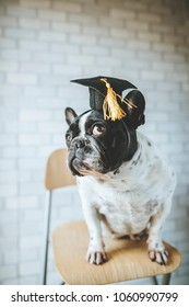 Portrait of french bulldogs breed dog, with student cap.