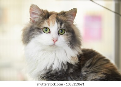 Dilute Calico Images, Stock Photos & Vectors   Shutterstock  Fluffy