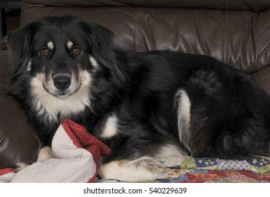 Portrait of a full blooded pedigree border collie female
