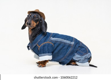 portrait in full growth dachshund dog, black and tan, wearing western Cowboy hat and jeans costume, isolated on gray background