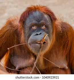 Portrait of funny Asian orangutan, adult