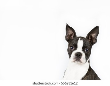 Portrait of funny black and white Boston terrier looking against of white background. Isolated. For banner and copy space available