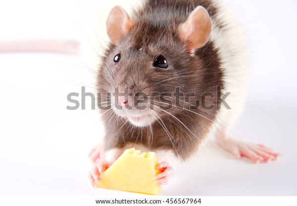Portrait of a funny black and white rat eating cheese (selective focus on the eyes)