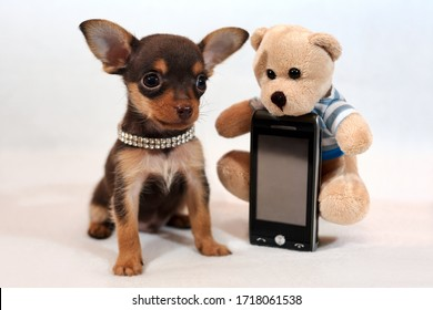 Portrait of a funny brown and tan short-haired Russkiy toy (Russian toy terrier) puppy with a cell phone and plush toy on white background.