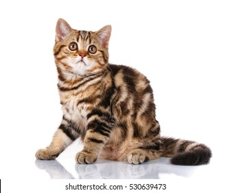 Portrait of a funny cat Scottish Straight with yellow eyes sitting isolated on white background