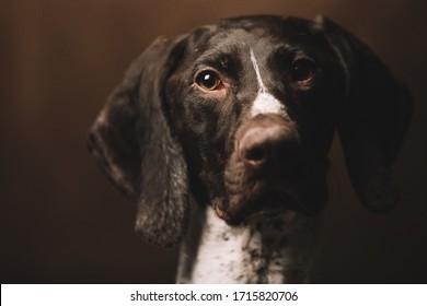 Portrait of a funny dog Pointer Kurzhaar. Brown background.