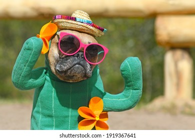 Portrait of funny French Bulldog dog dressed up with cactus costume with fake arms and orange fowers wearing summer straw hat and pink sunglasses