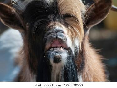 portrait of funny goat