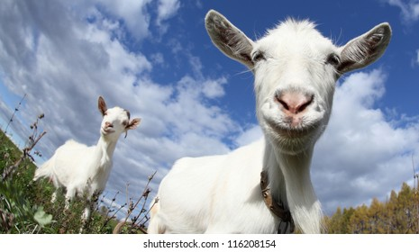 Portrait of a funny goat looking to a camera over blue sky background