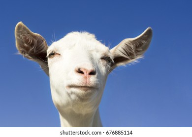 Portrait of a funny goat looking to a camera over blue sky background.