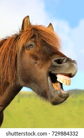 Portrait of funny grinning horse on the background of blue sky Iceland