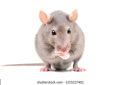 Portrait of a funny little rat, isolated on white background
