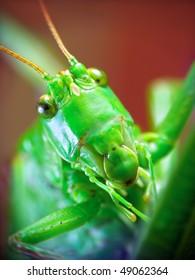 The portrait of funny locusta migratoria