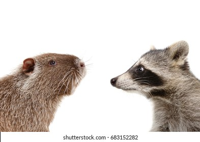 Portrait of funny nutria and raccoon, closeup, profile, isolated on white background