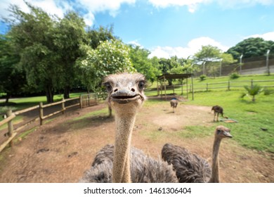 Portrait of a funny ostrich surrounded by other ostriches in a safari park