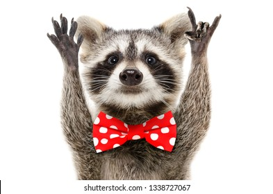 Portrait of a funny raccoon in bow showing a rock gesture isolated on white background