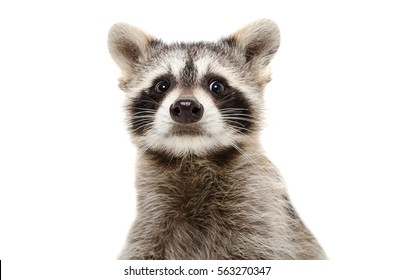 Portrait of a funny raccoon, closeup, isolated on white background