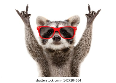 Portrait of a funny raccoon in red sunglasses showing a rock gesture isolated on white background