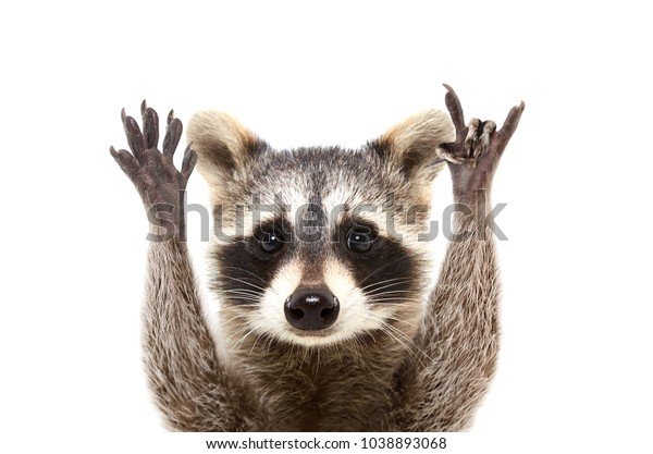 Portrait of a funny raccoon showing a rock gesture, isolated on white background