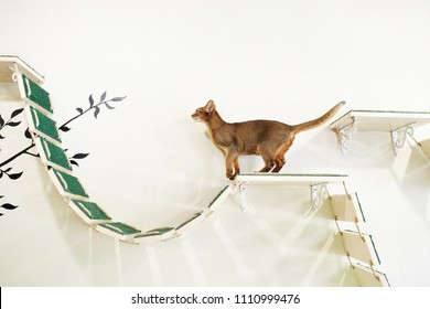 portrait of funny red cat with white wall background. the cat walks on the shelves on the wall